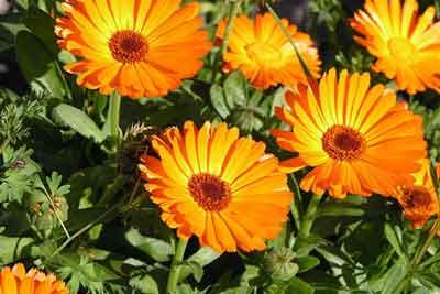 گل-همیشه-بهار۱