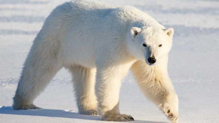 Winter-Bear